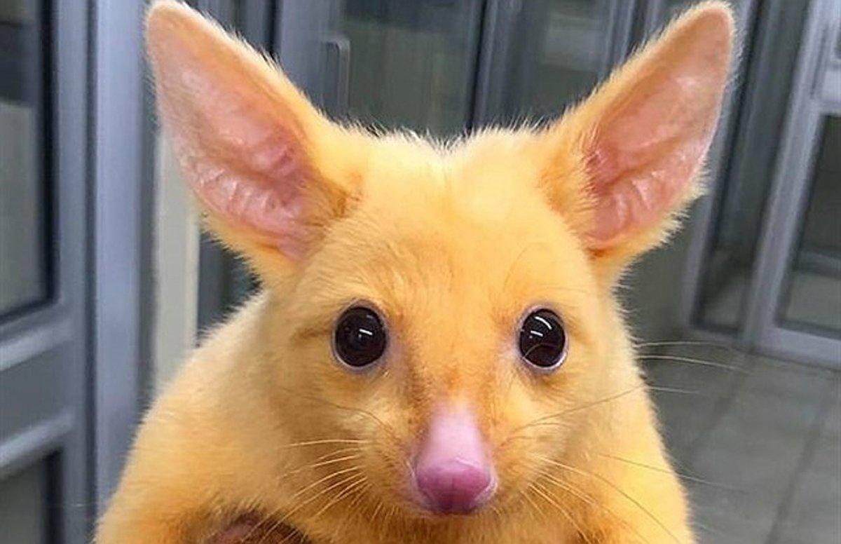 La zarigüeya Pikachu.