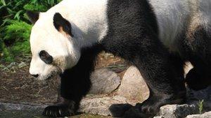 Dos pandes s'estan quedant sense bambú per menjar al Canadà