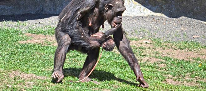 Neix una cria de ximpanzé a la vista del públic al Bioparc de València