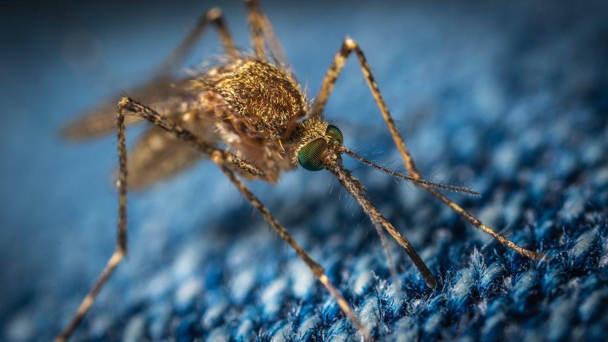 Cómo los mosquitos cambiaron la historia de la humanidad