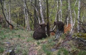 Dos osos recién nacidos, probablemente hijos de la hembra Boavi, fotografiados con una cámara automática en el año 2016 en el término municipal deLladorre, en el Pallars Sobirà.