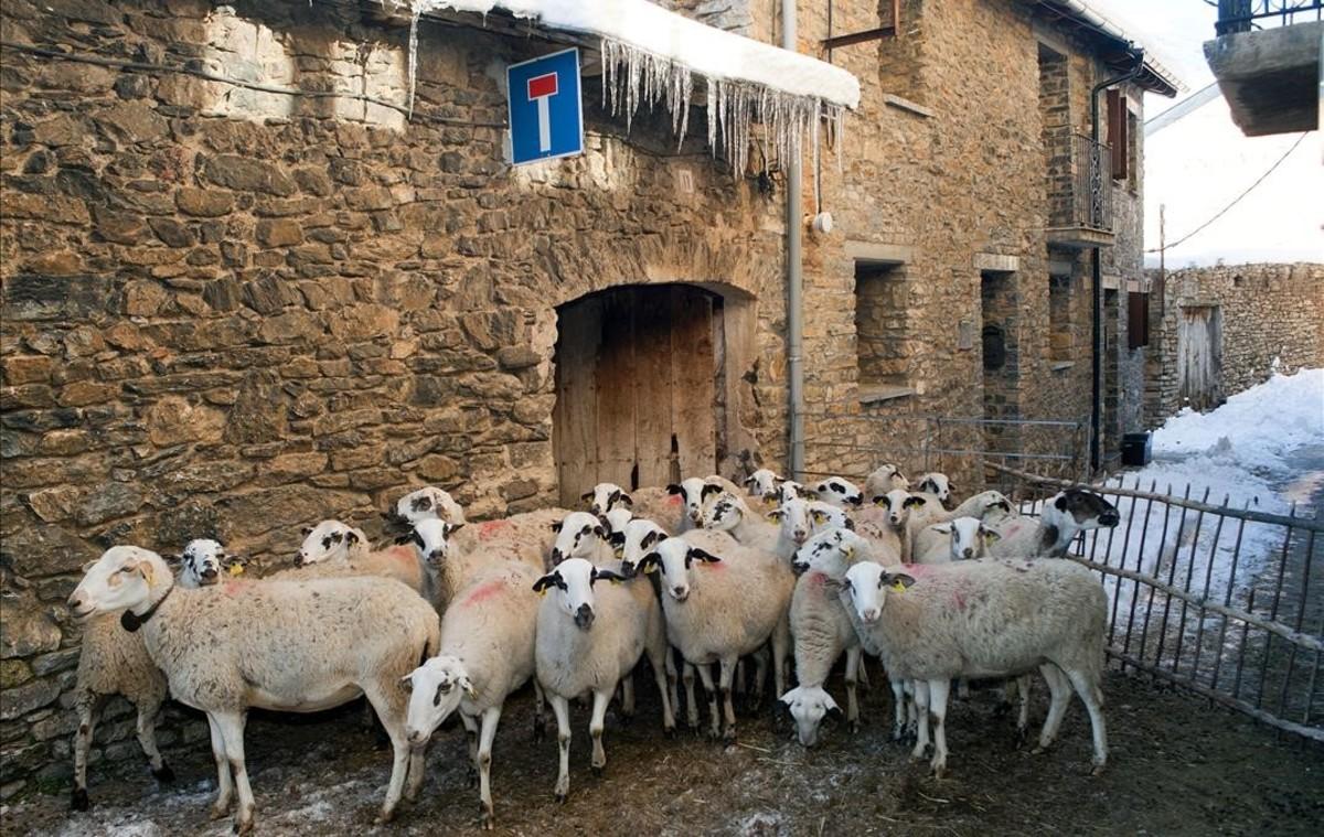 Un rebaño de ovejas en el municipio de Llessui (Pallars Sobirà).