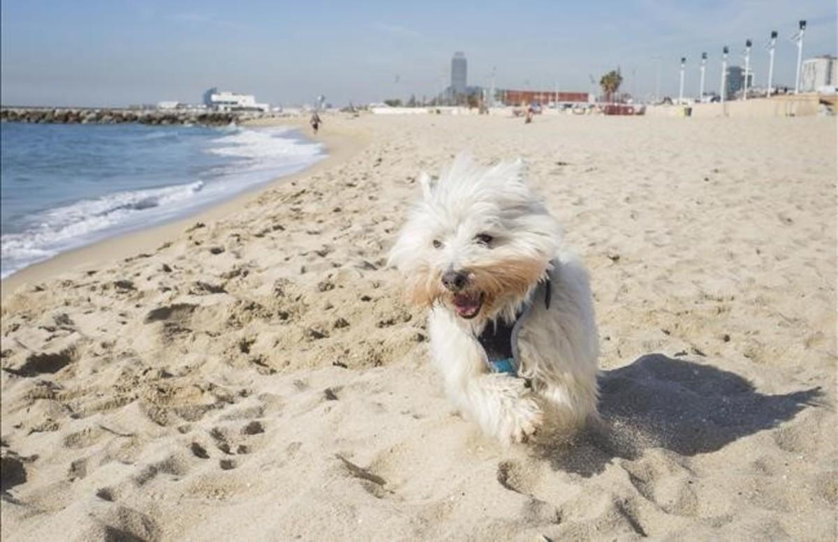 Un perrito trota por la playa de Llevant.