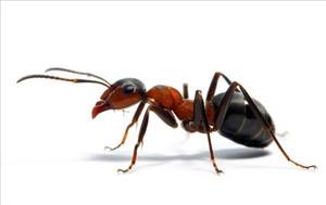 Una hormiga