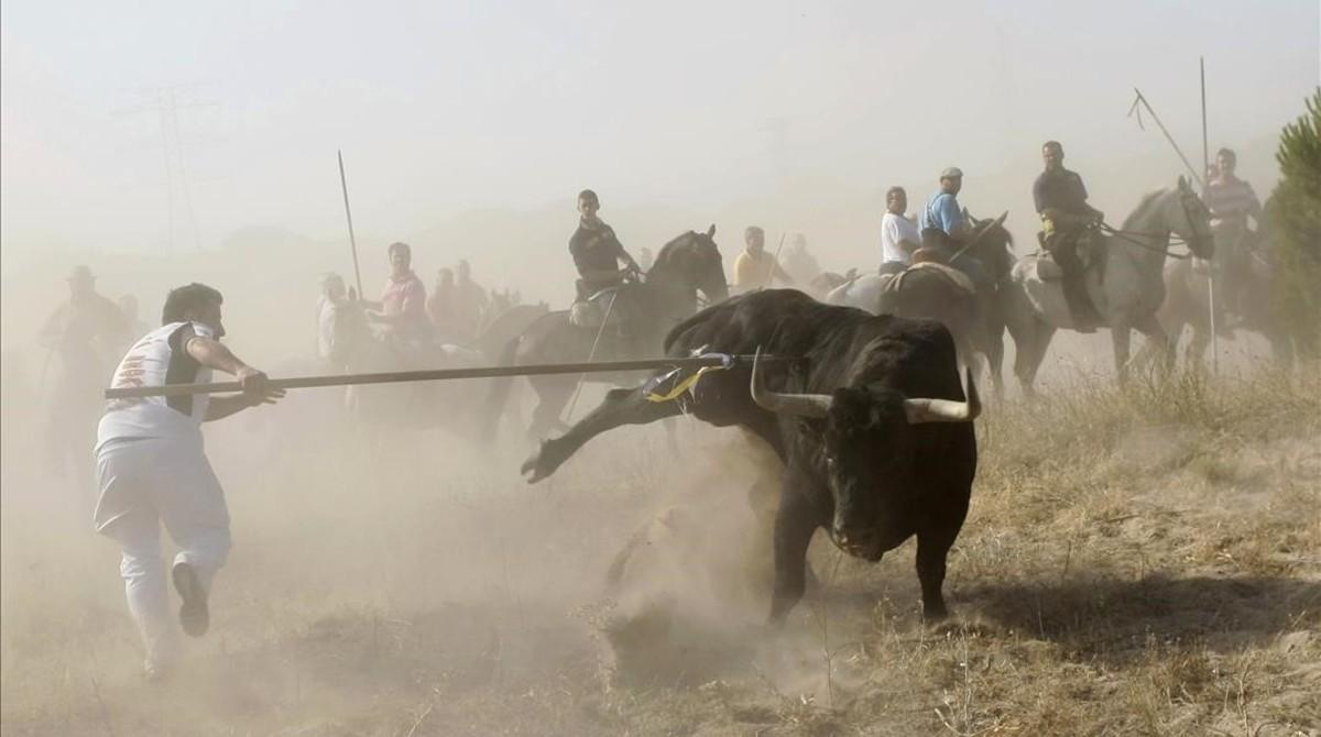 Un torneante alancea alanimal durante unfestejo del Toro de la Vega, en Tordesillas.