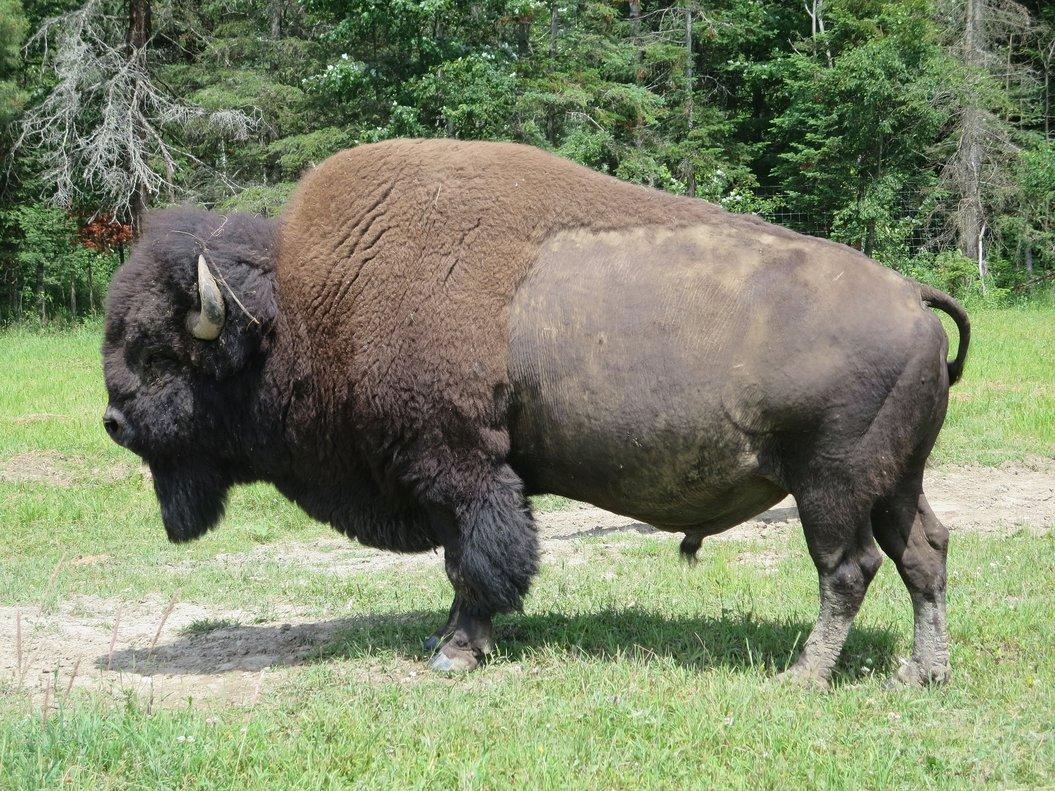 El impresionante ataque de un bisonte a una niña de nueve años en Yellowstone