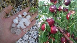 Nectarinas estropeadas por el grnaizo.