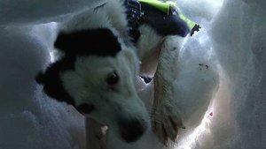 La perra de rescate Flo localiza a una supuesta víctima enterrada bajo la nieve.