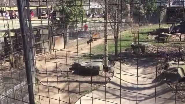 Una mujer salta al foso de los tigres en el zoo de Toronto