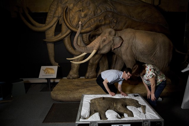 Preparació de lexposició sobre mamuts a Londres.
