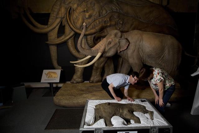 Preparación de la exposición sobre mamuts en Londres.