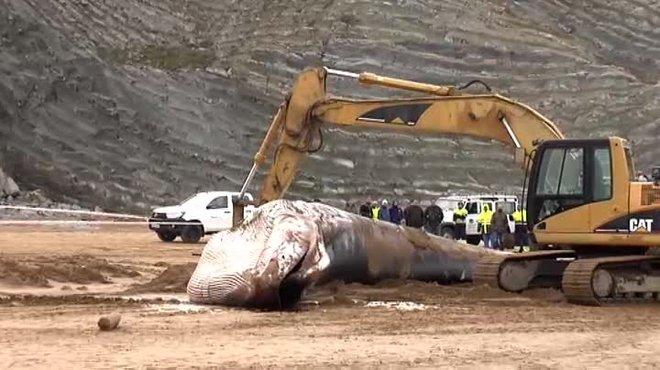 El animal, de 30 toneladas de peso y 16metros de longitud, falleció horas después de que unos particulares que se encontraban en la zona dieran el aviso a las autoridades pertinentes.
