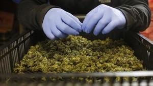 Plantación de marihuana medicinal.