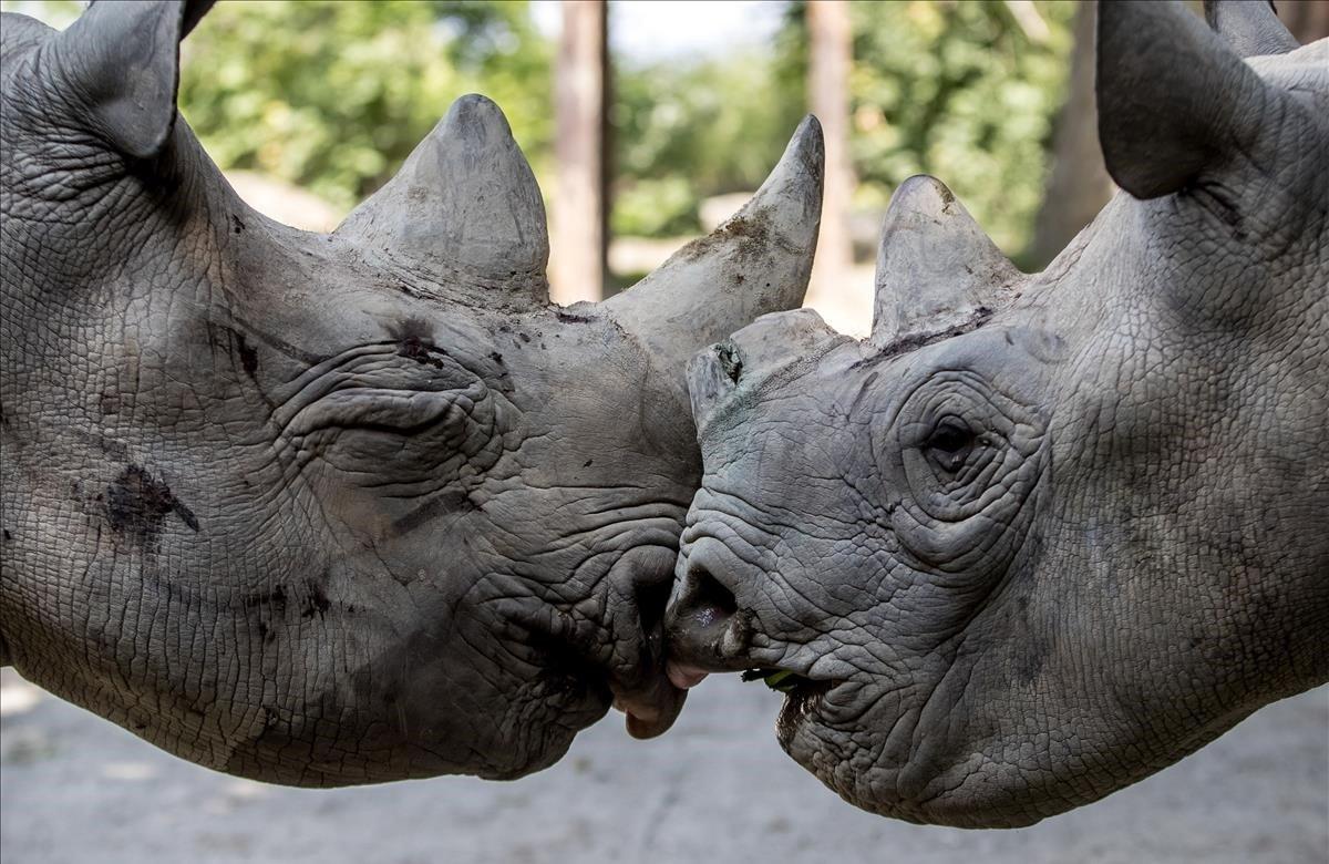 Dos de los cinco rinocerontes que han de ser transportados a Ruanda juegan entre ellos, este lunes, en el parque safari de Dvur Kralove nad Labem (República Checa). Cinco rinocerontes negros del este llegados en avión desde la República Checa, en lo que supone el mayor traslado de rinocerontes europeos a África de la historia, aterrizaron hoy en Ruanda, país en el que se extinguieron hace doce años y donde las autoridades intentan repoblar esta especie.