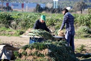 Cultivo de calçots en un campo de Gavà.