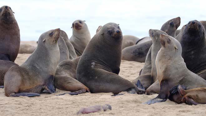 Alarma por la misteriosa muerte de miles de lobos marinos en el sur de África. En la foto, varios ejemplares de lobos marinos se juntan en Pelican Point, Namibia.