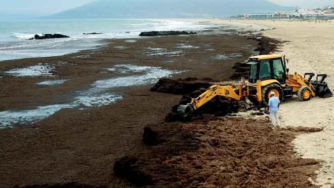 La alga rugulpterix okamurae en la costa gaditana.