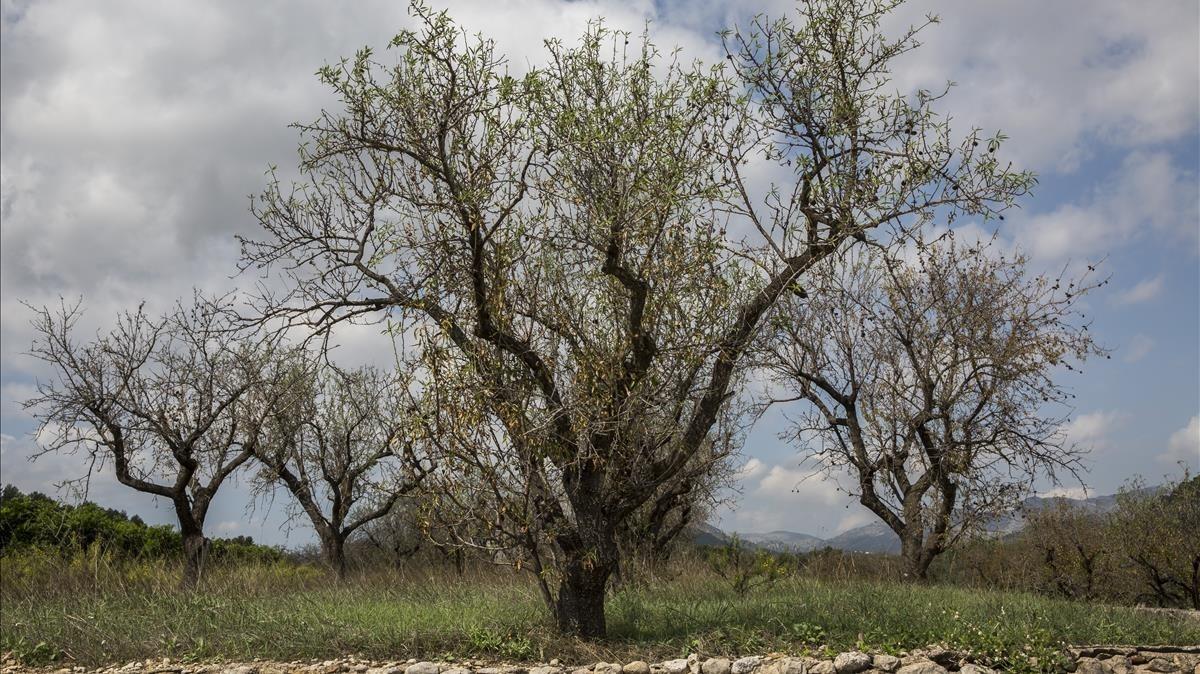 Almendros afectados por la 'Xylella fastidiosa' en Alcalalí, en Alicante.