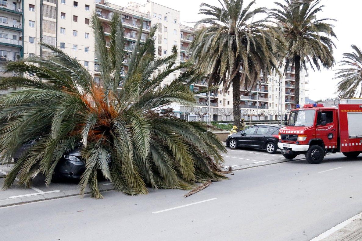 Imagen de la palmera que ha caído sobre el coche, en el paseo de Mataró.