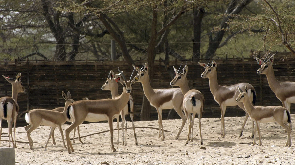 Grupo de gacelas en el Zoo de Barcelona.