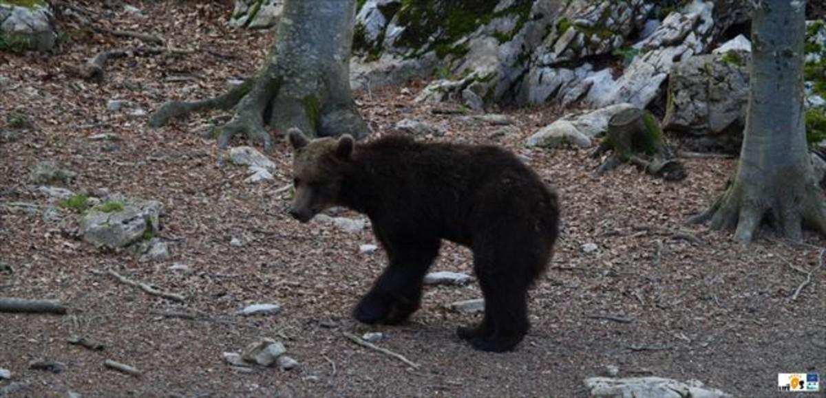 En junio del 2016 8Goiat, poco después de ser liberado en el valle de Ísil, en el parque natural del Alt Pirineu.