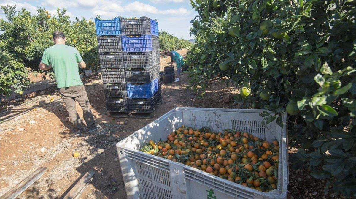 Recolecta de mandarinas en Santa Bàrbara en el Montsià.
