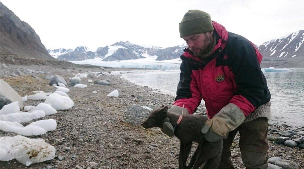 L'aventura d'una guineu de les neus: de Noruega al Canadà en 76 dies