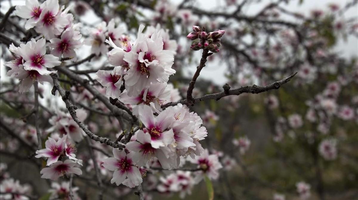 Almendros en flor.