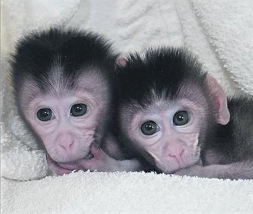Modificats genèticament 8Els macacos Mingming i Ningning, nascuts a la Universitat de Nanjing.