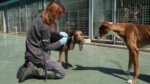 Una trabajadora cuida a los animales del Refugi de Cal Pilé, centro de acogida de Mataró.