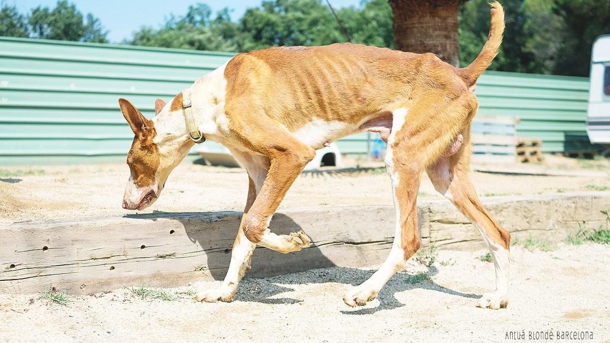 Mercuri, uno de los perros rescatados por la protectora de Mataró.