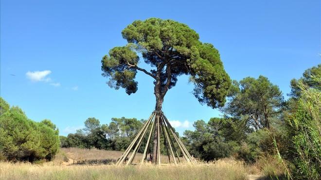 El Pi d'en Xandri de Sant Cugat del Vallès