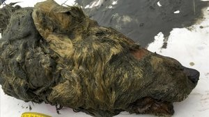Apareix a Sibèria un enorme cap de llop de fa 40.000 anys