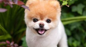 """La emotiva carta para despedir a Boo, """"el perro más bonito del mundo"""", tras su muerte"""