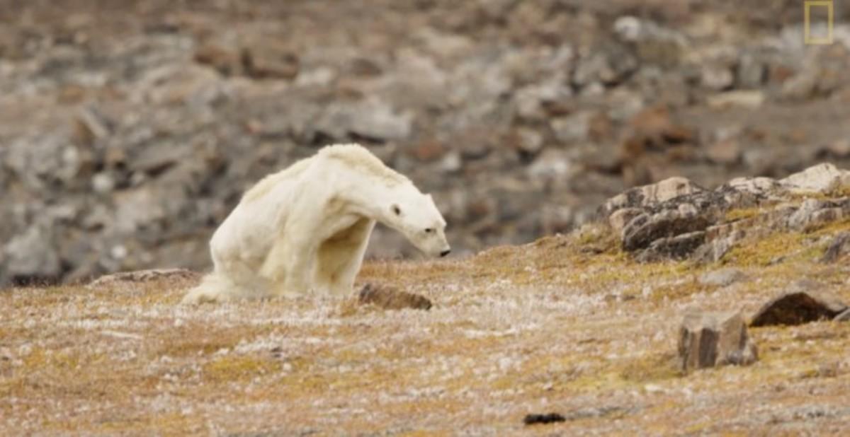 La desgarradora muerte de un oso polar famélico en un Ártico sin nieve