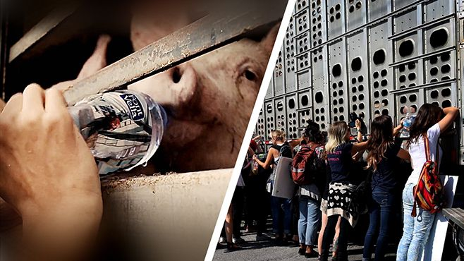 La Generalitat sancionarà els atacs animalistes a les granges