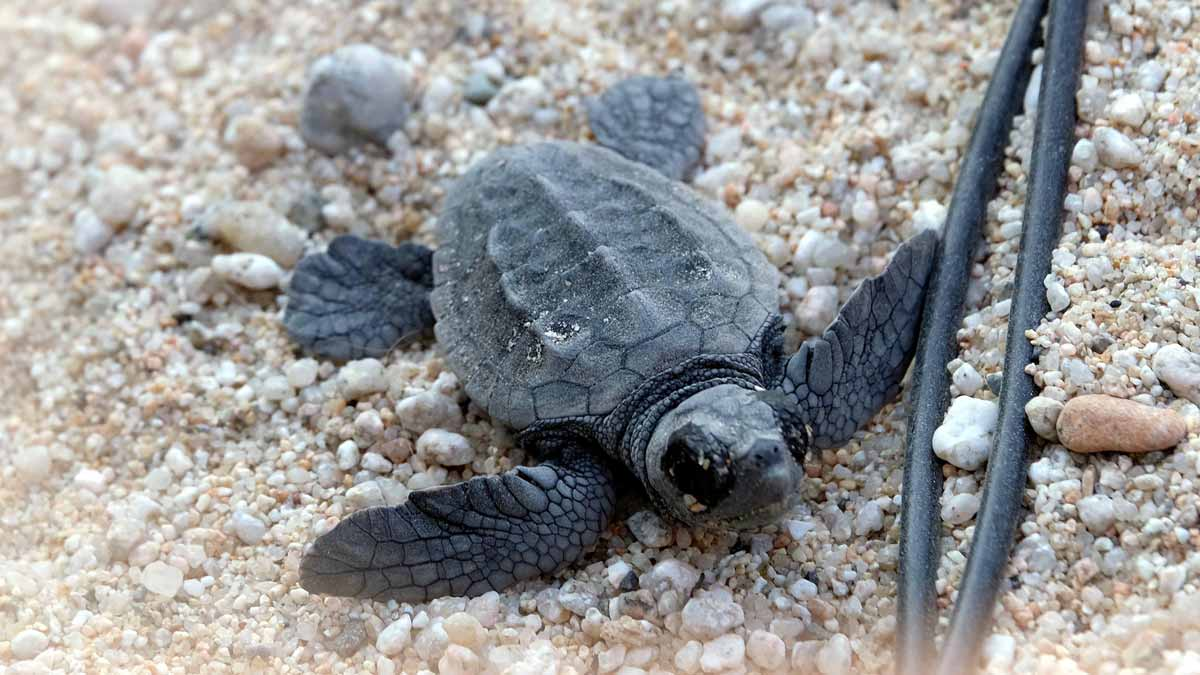 Nace la primera tortuga boba procedente de la puesta de huevos en la playa de Sant Simó de Mataró.