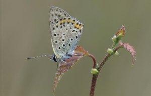 Una mariposa Ícaro.