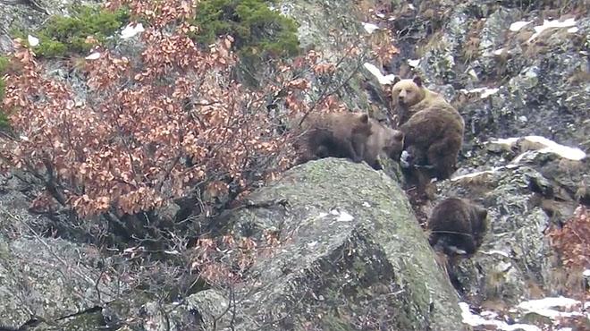 Los osos del Pirineo Catalán no hibernan todavía.