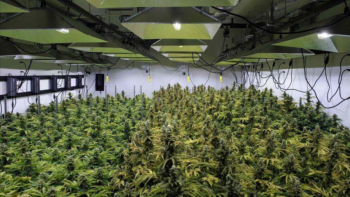 Plantas de marihuana de la empresa Canopy.
