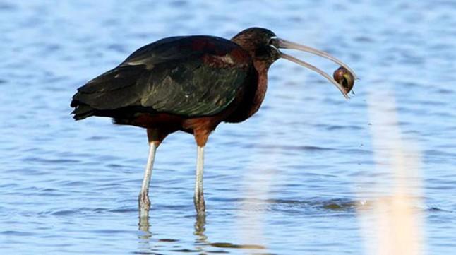 Un ejemplar de morito se zampa un caracol manzana en el delta del Ebro.