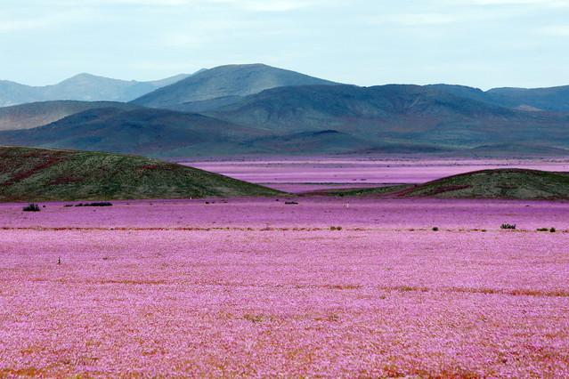 Espectacular imatge del desert dAtacama, cobert de flors, aquesta setmana.