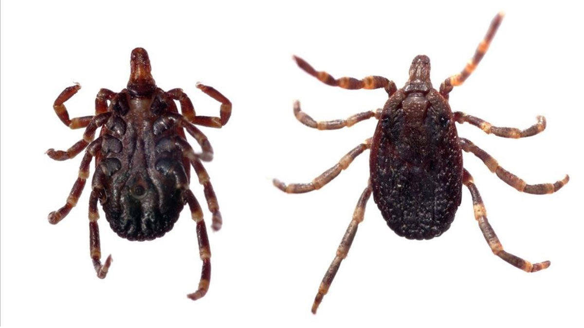 Garrapata Hyalomma, transmisora de la fiebre hemorrágica deCrimea-Congo.