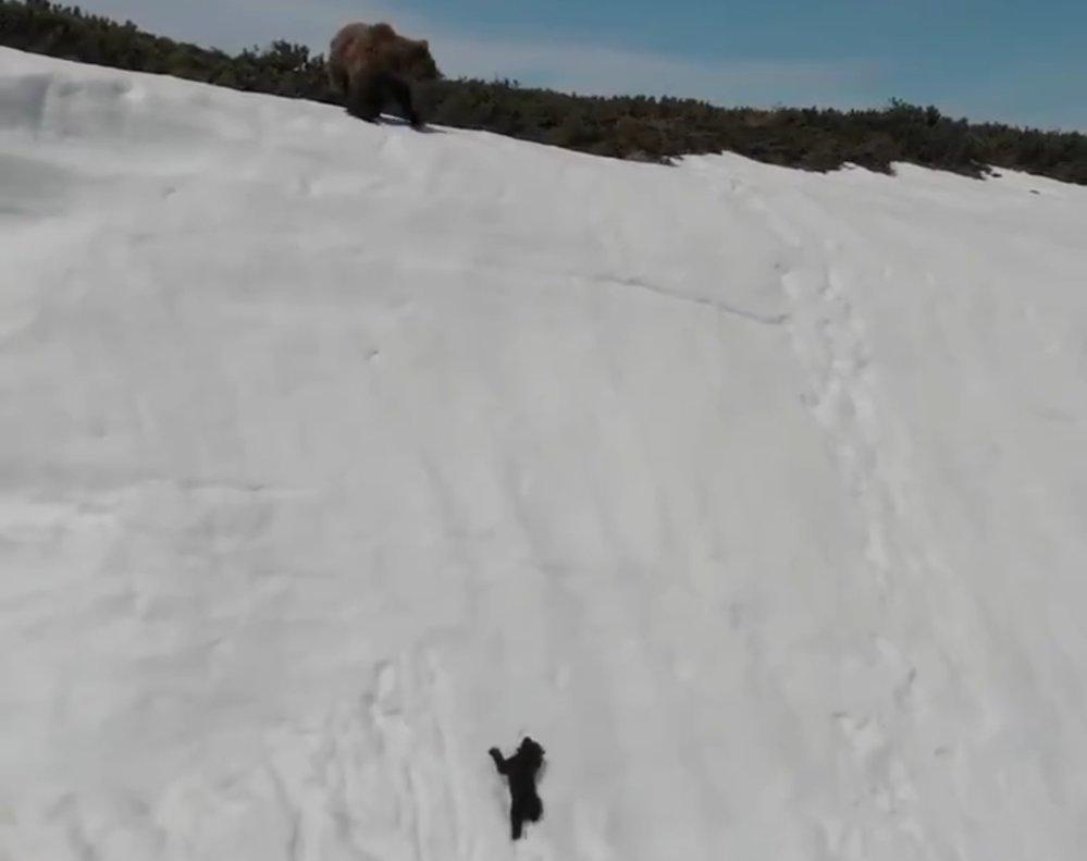La lección de un osezno que no se da por vencido tras caer por una montaña nevada