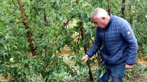 El presidente de Asaja Lleida, Pere Roqué, examina los daños por el granizo en un manzanar de Bellpuig.