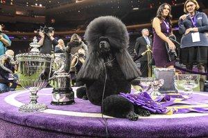 Siba posa con todos sus trofeos de ganador del 'Best in Show', en el Westminster Kennel Club celebrado en Nueva York.