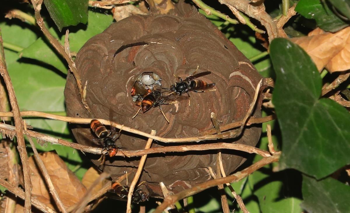 La 'vespa assassina' arriba a Barcelona
