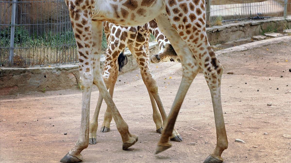 Una cría de jirafa juguetea con su madre en el zoo de Barcelona, en una imagen de archivo.