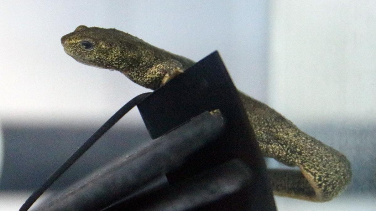 Ejemplar de tritón del Montseny criado en cautividad en Torreferrussa.