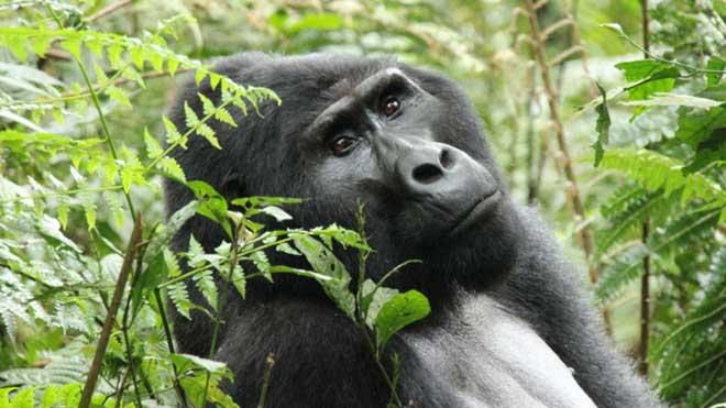 Lenta recuperación de los gorilas de montaña en Uganda. En la foto, Bahati, el espalda plateada, en el bosque Impenetrable de Bwindi.